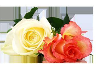 Tanz Blume Rose